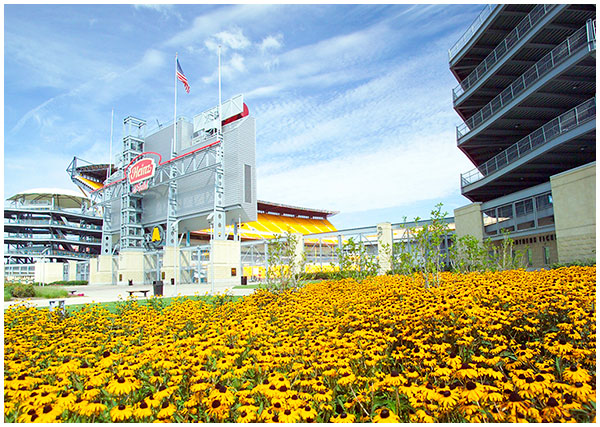 Black-eyed Susan field in front of heinz field pittsburgh